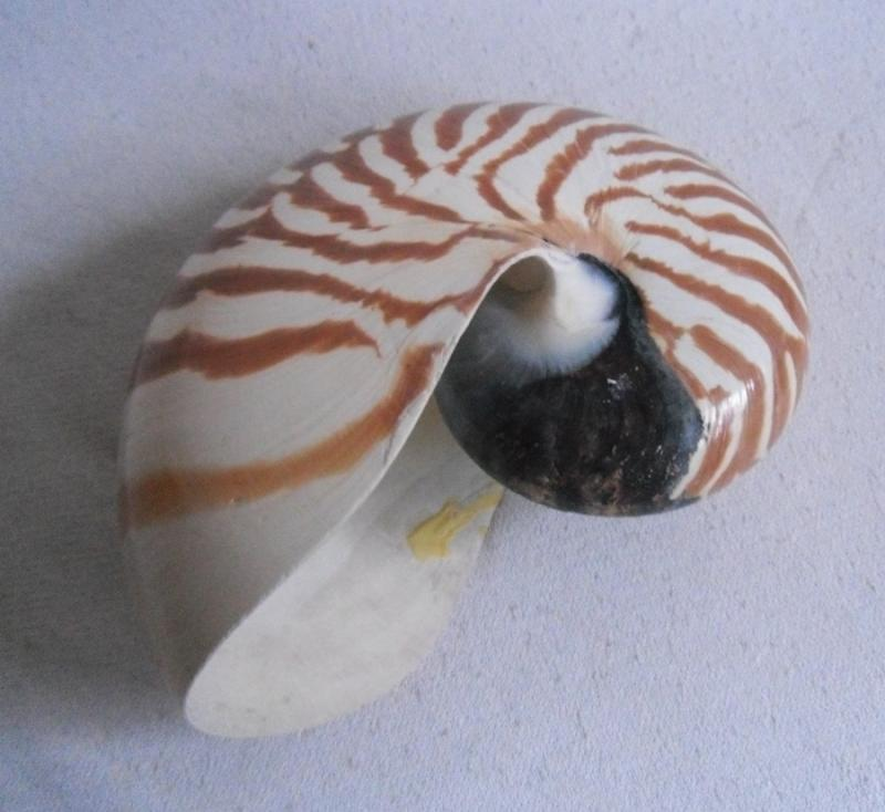 nautilus kopff ssler muschel schnecke getigert philippinen nr 3 ebay. Black Bedroom Furniture Sets. Home Design Ideas