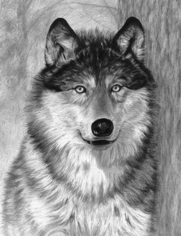 Sketching Malen mit Bleistift Wolf   24cm x 33cm  Komplettset Skizzieren