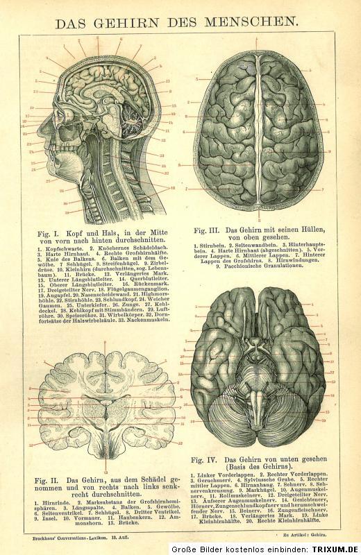 Medizin Neurologie B13 ORIGINAL-STICH von 1884: Das Gehirn des Menschen